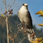 Canada's national bird: why the whisky jack?!